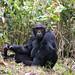 Pimu, Alpha Male Chimpanzee (not captive)