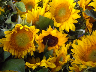 Sunflowers from Anderson Orchards | by swampkitty