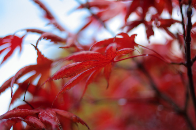 Acer Trompenburg Japanese Maple in autumn photo by Suzie Blackman