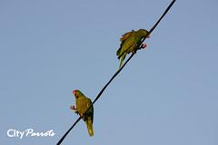 Red-crowned Amazon parrot (Amazona viridigenalis) & Lilac-crowned Amazon (Amazona finschi)