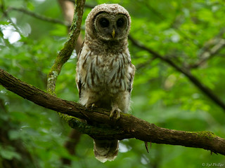 Barred Owl (juvenile) | by sydphi