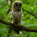 Barred Owl (juvenile)