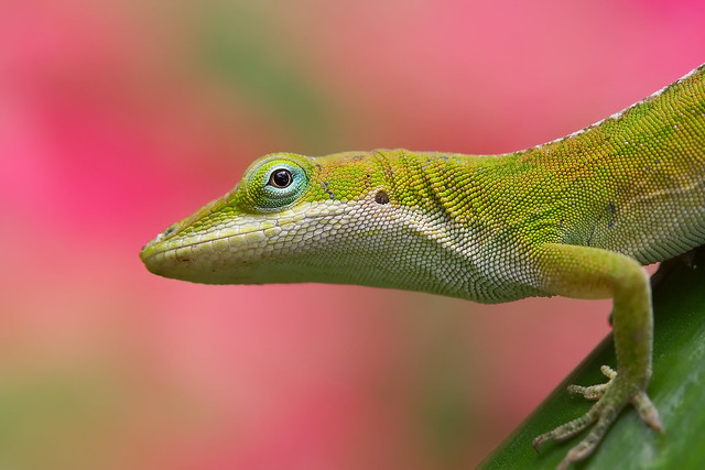 Anole Lizard on Pink