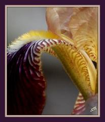 veins of an iris