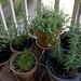 Herbs & tomato