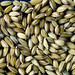 healthy and pure rice seeds