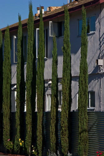 Italian Cypress Hedge And Apartment Facade The Cypress