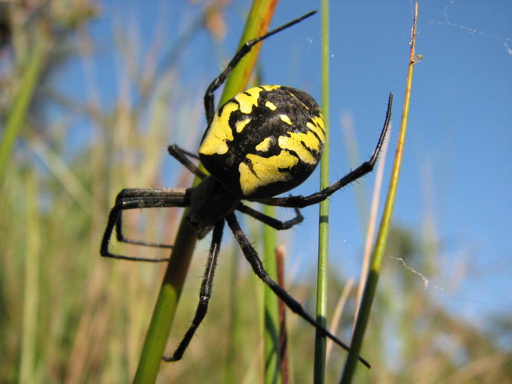 Black And Yellow Garden Spider Petroglyph Flickr