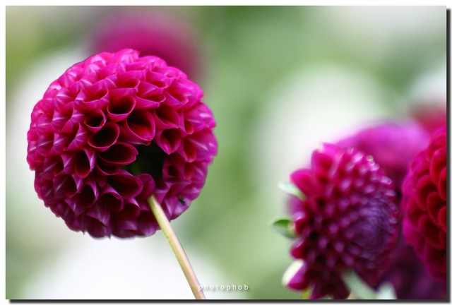 pompon dahlia dahlia dahlie photophob flickr. Black Bedroom Furniture Sets. Home Design Ideas