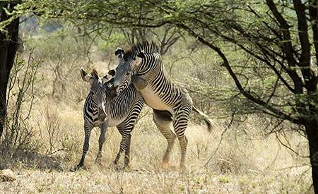 Zebras mating - photo#38