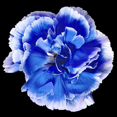 Carnation blue | Pawel Boguslawski | Flickr