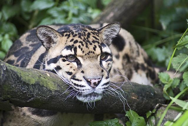 Big cats Ocelot | Flickr - Photo Sharing!
