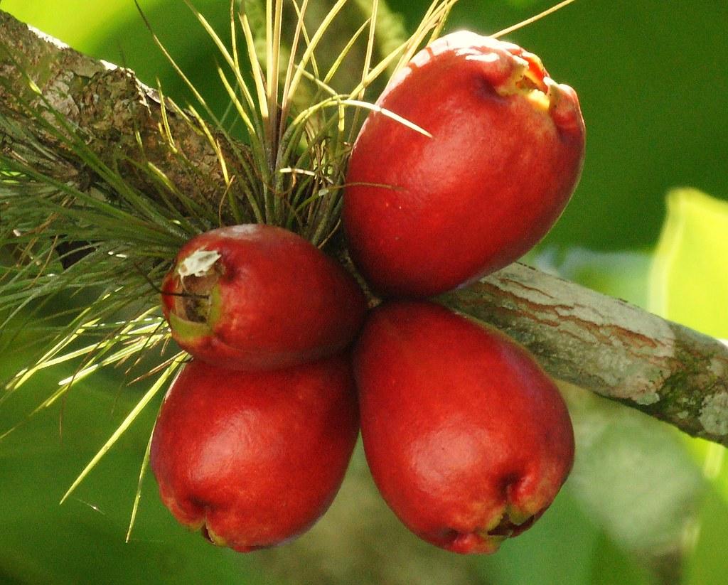 Pomag 225 S Pomalaca Malaysian Apple Syzygium Malaccense