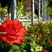 Rosa en el Parque del Salón