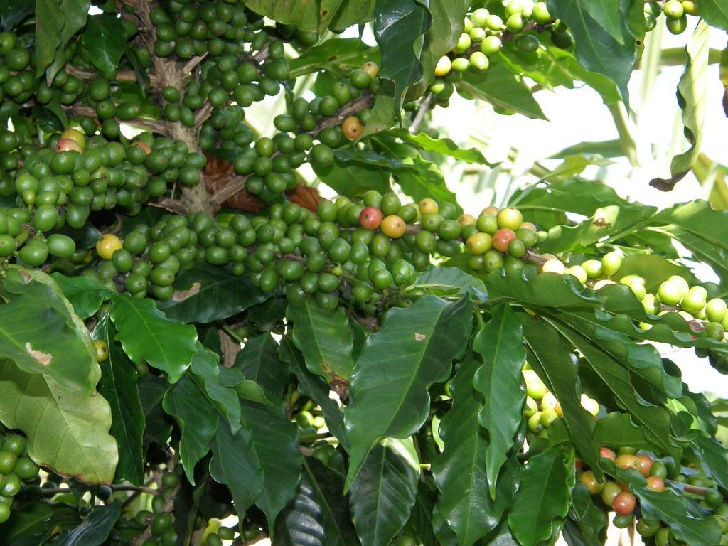Planta del café (Coffea arabica) | Coffee plant | Rafael ...