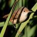 Rouxinol-pequeno-dos-caniços (Acrocephalus scirpaceus)