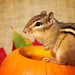 Harvest Chipmunk