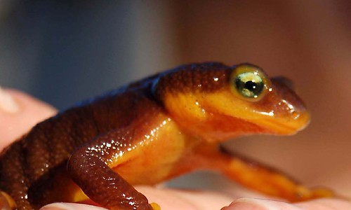 10a. California Newt | by kqedquest