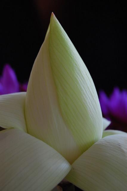 Sudu Nelum White Lotus A Half Open Nelum Flower Flickr