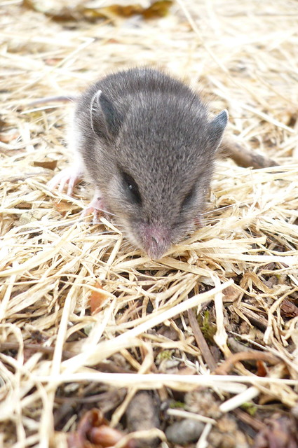 baby deer mouse flickr photo sharing
