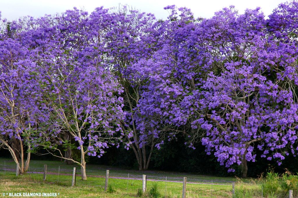 Jacaranda mimosifolia - Jacaranda | Copyright - All Rights ... Jacaranda Mimosifolia Flowers