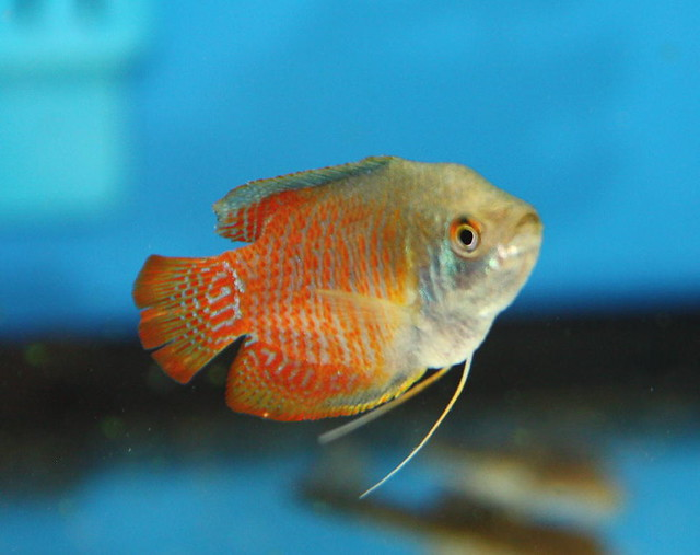 Sunset Fire Red Dwarf Gourami Colisa Lalia