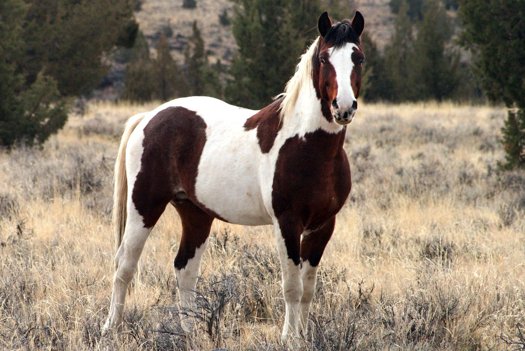 feral horse south steens hma steens mountain oregon img