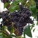 Ligustro // Japanese Privet (Ligustrum japonicum)