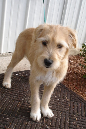 Sandy Wheaten Terrier Mix She Is About 6 Months Old And