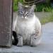 Globular Cat