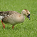 Domestic Swan Goose 3