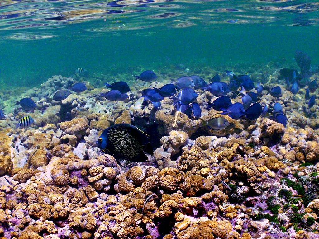 French Angelfish Looe Key National Us Marine Sanctuary