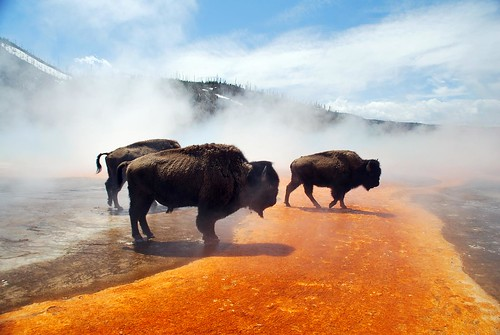 Bison At Grand Prismatic Spring Yellowstone National Park