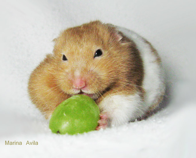 Hamster Mike Comendo Uvas Verdes Eating Green Grapes