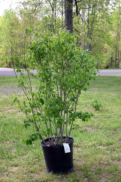 Serviceberry or Juneberry (Amelanchier spp.)