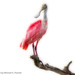 Roseate Spoonbill On White
