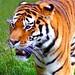 Tiger Feet......