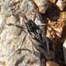 Gorgulho // Weevil (Coniocleonus nigrosuturatus)