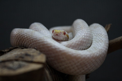 Albino Corn Snake Albino Kornnat Corn Snake