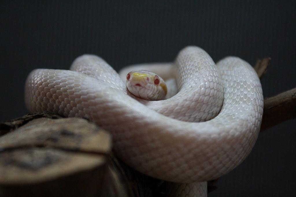 Albino Corn Snake Albino Kornnatter Corn Snake