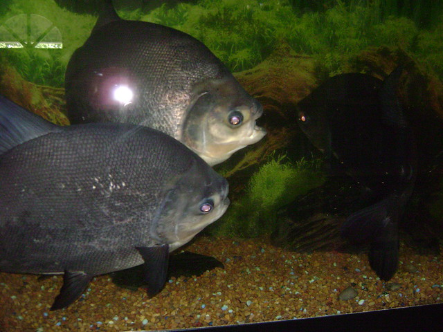Red Belly Pacu Fight!!.. Flickr - Photo Sharing!