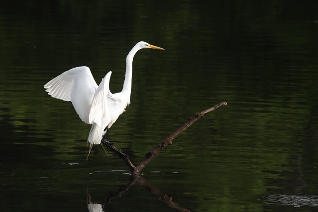 Great White Egret Landing High Park Toronto Ontario