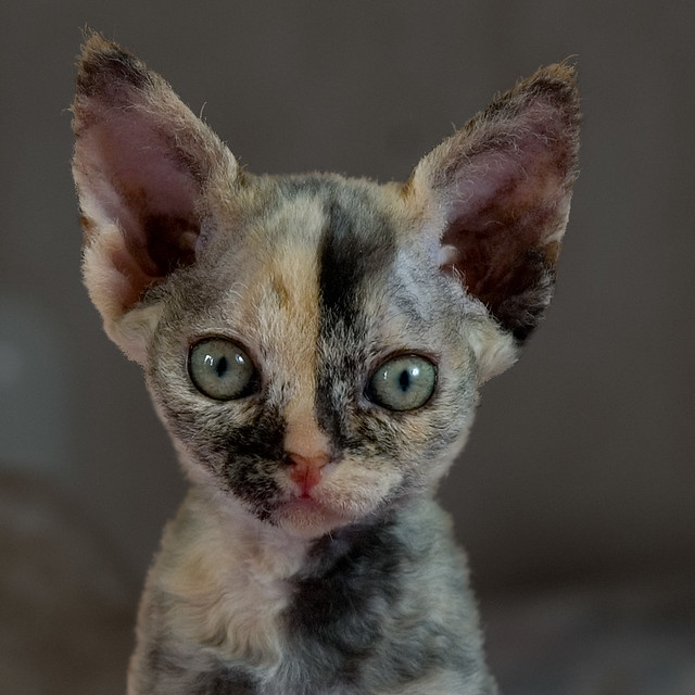 Chimera Cats For Sale Uk