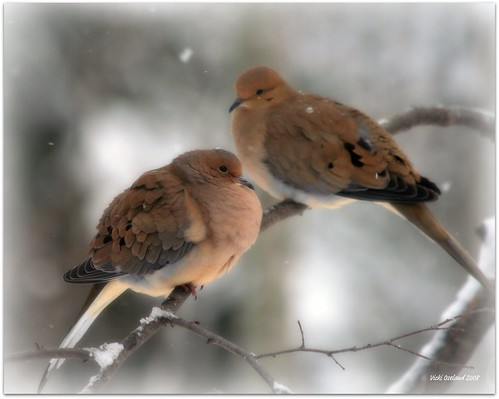 Two Mourning Doves | by forestlady