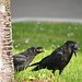 American Crow and Fledgling