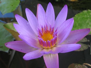 Water Lily | by rumpleteaser