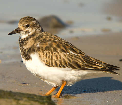 Ruddy turnstone | by kevinbolton56