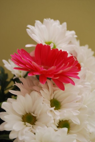 pink gerbera DSC_5284 | by I Should Be Folding Laundry