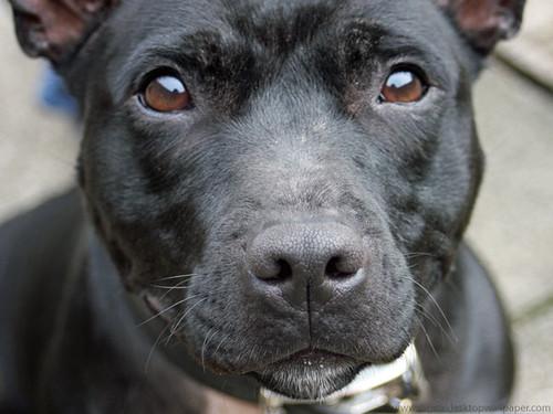 Staffordshire Bull Terrier Dog | Gorgeous Staffordshire ...