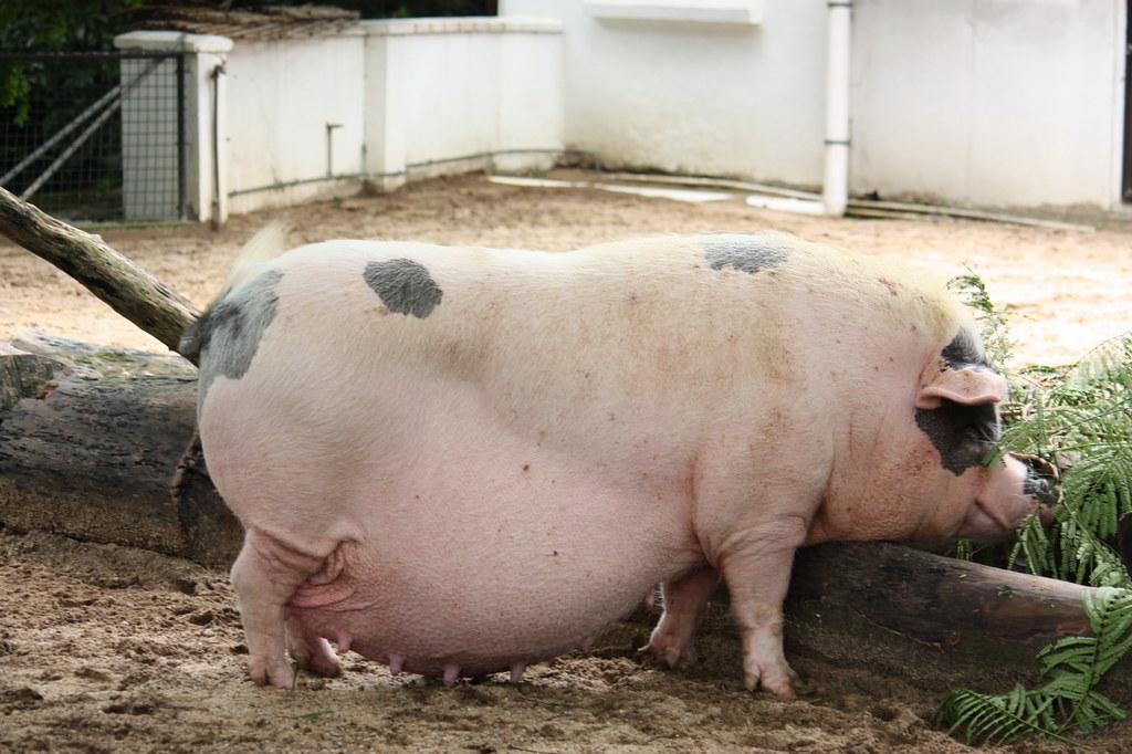 На Херсонщині скупники свиней порушують карантинний режим